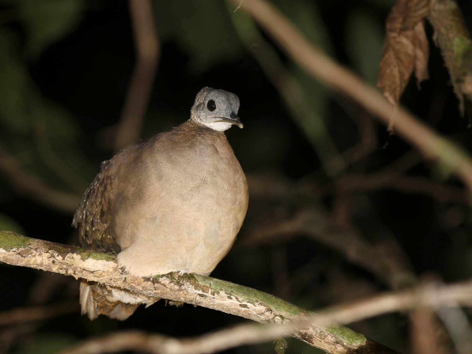 White-throated Tinamou - Knut Hansen