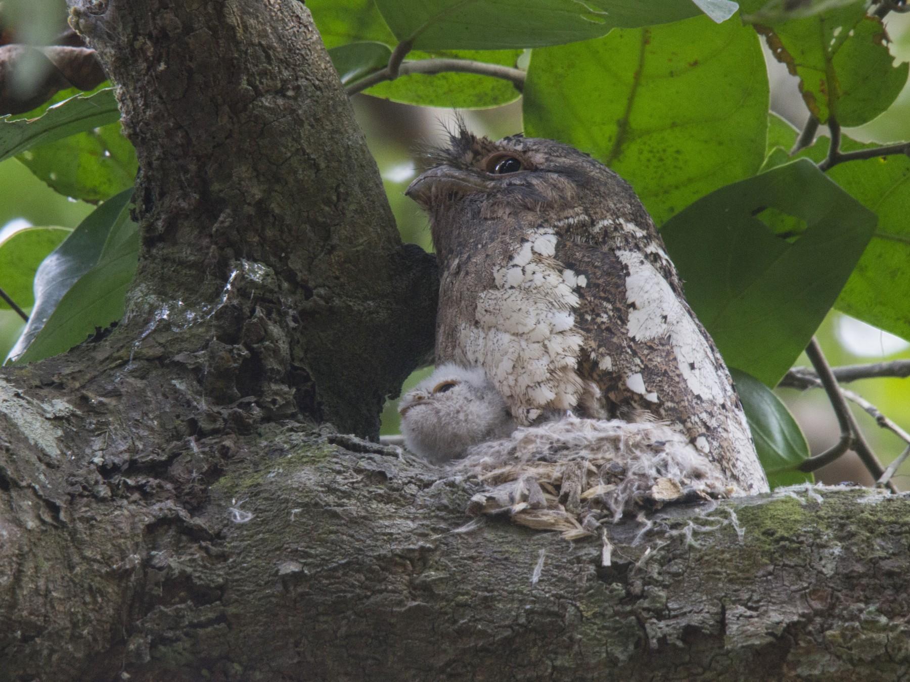 Sri Lanka Frogmouth - Ramit Singal