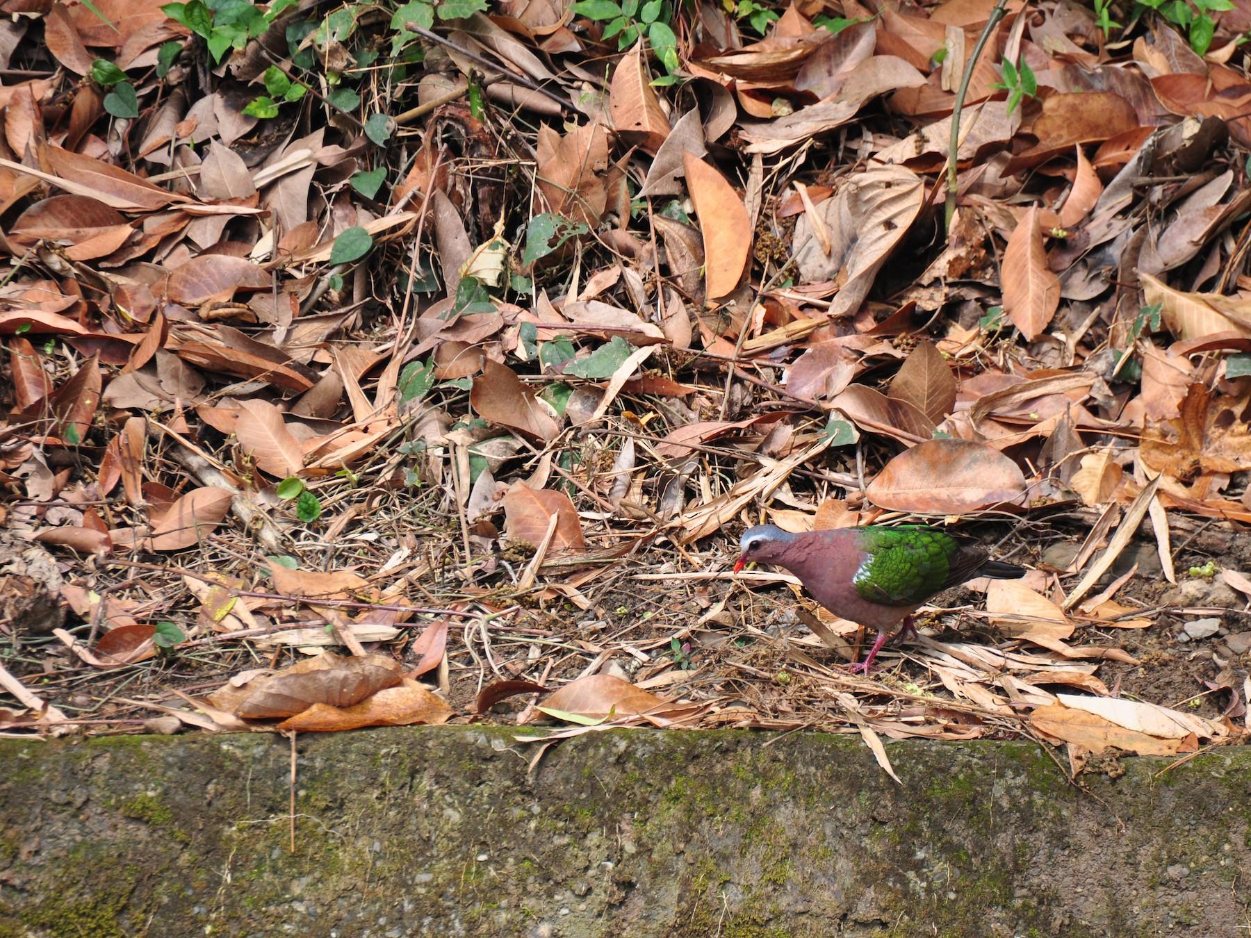 Asian Emerald Dove - Kun-Hui  Lin