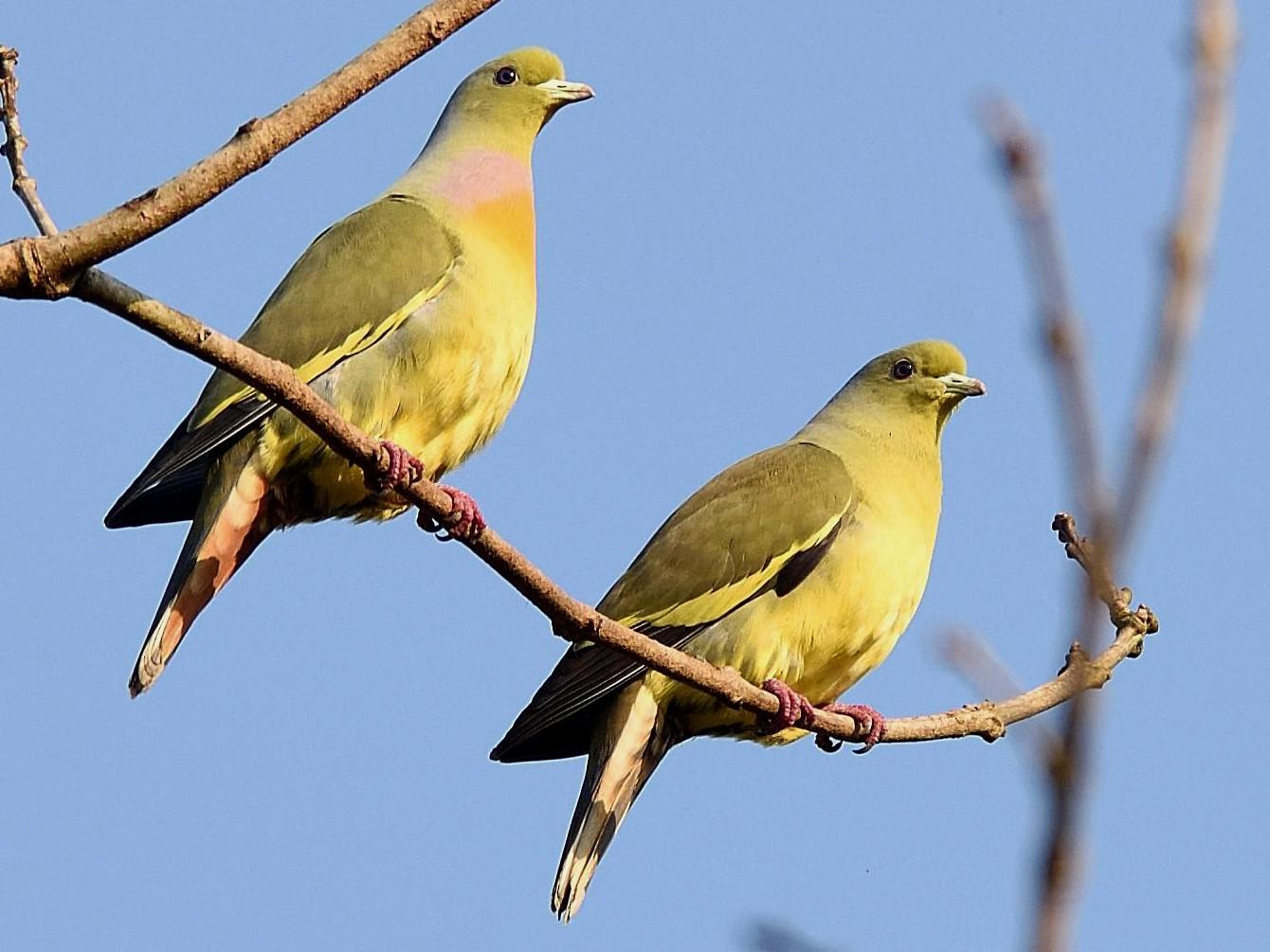 Orange-breasted Green-Pigeon - Arun Prabhu