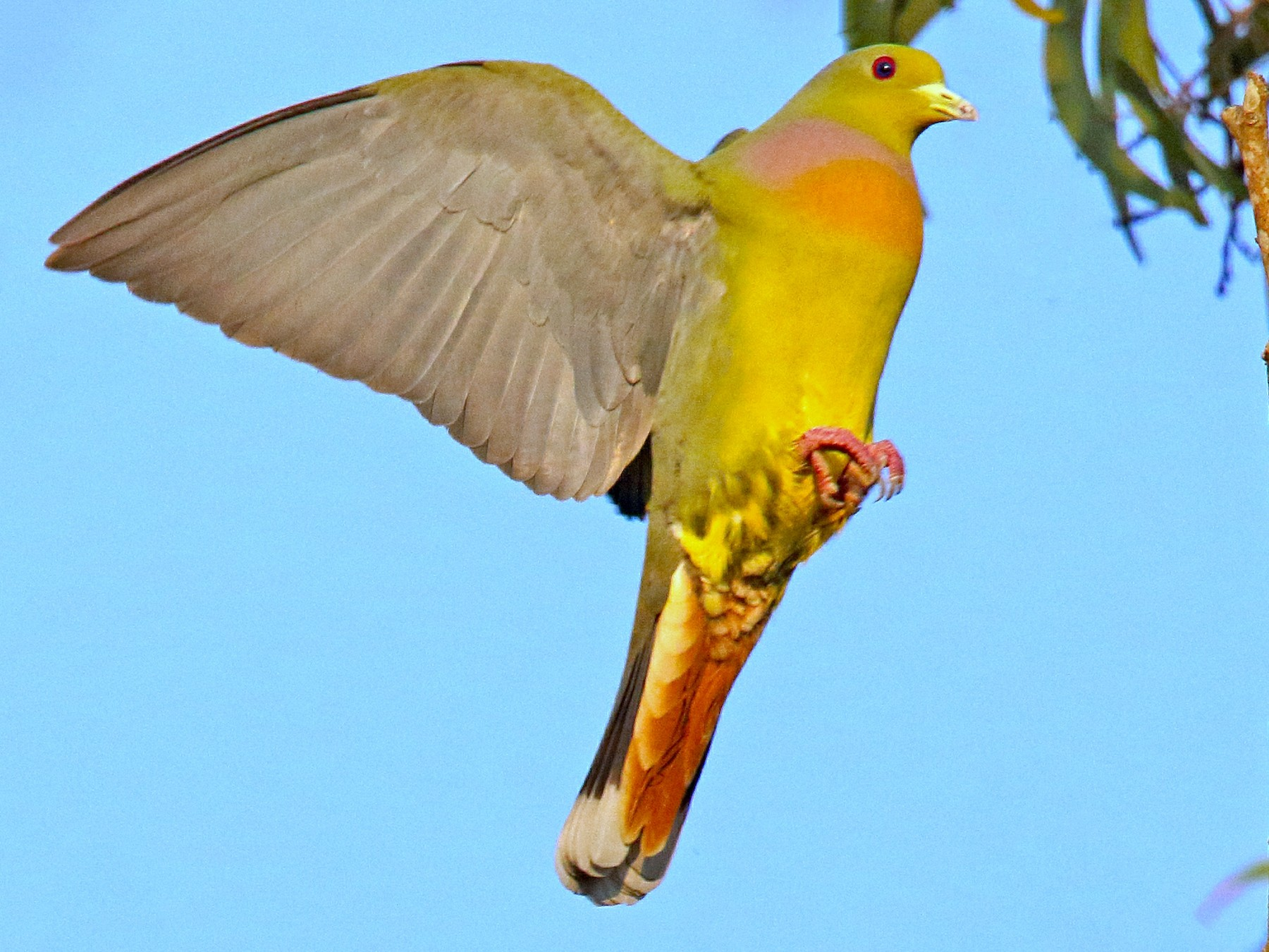 Orange-breasted Green-Pigeon - Roshan  Kamath