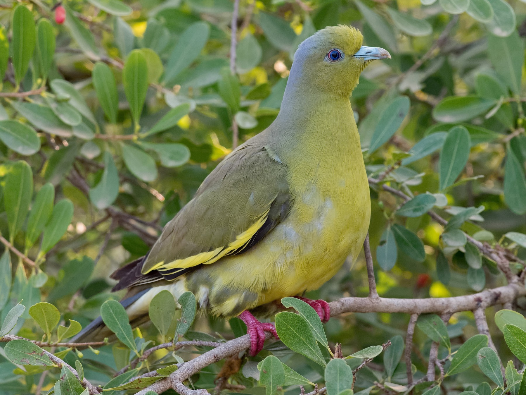 Orange-breasted Green-Pigeon - Shailesh Pinto