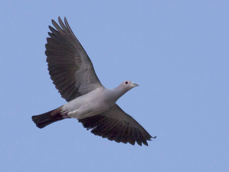 Green Imperial-Pigeon - Michael Todd