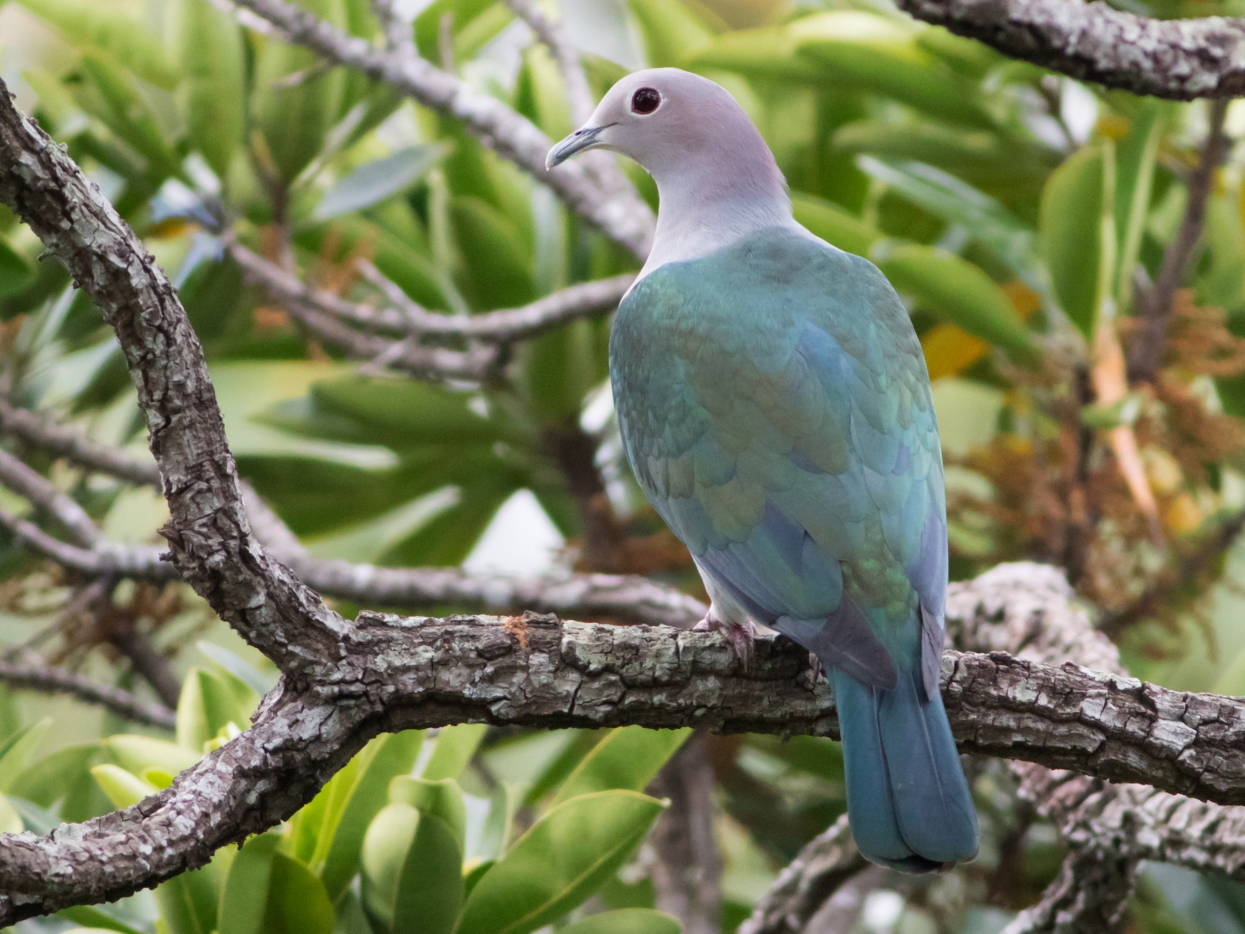 Green Imperial-Pigeon - Lucas Bobay