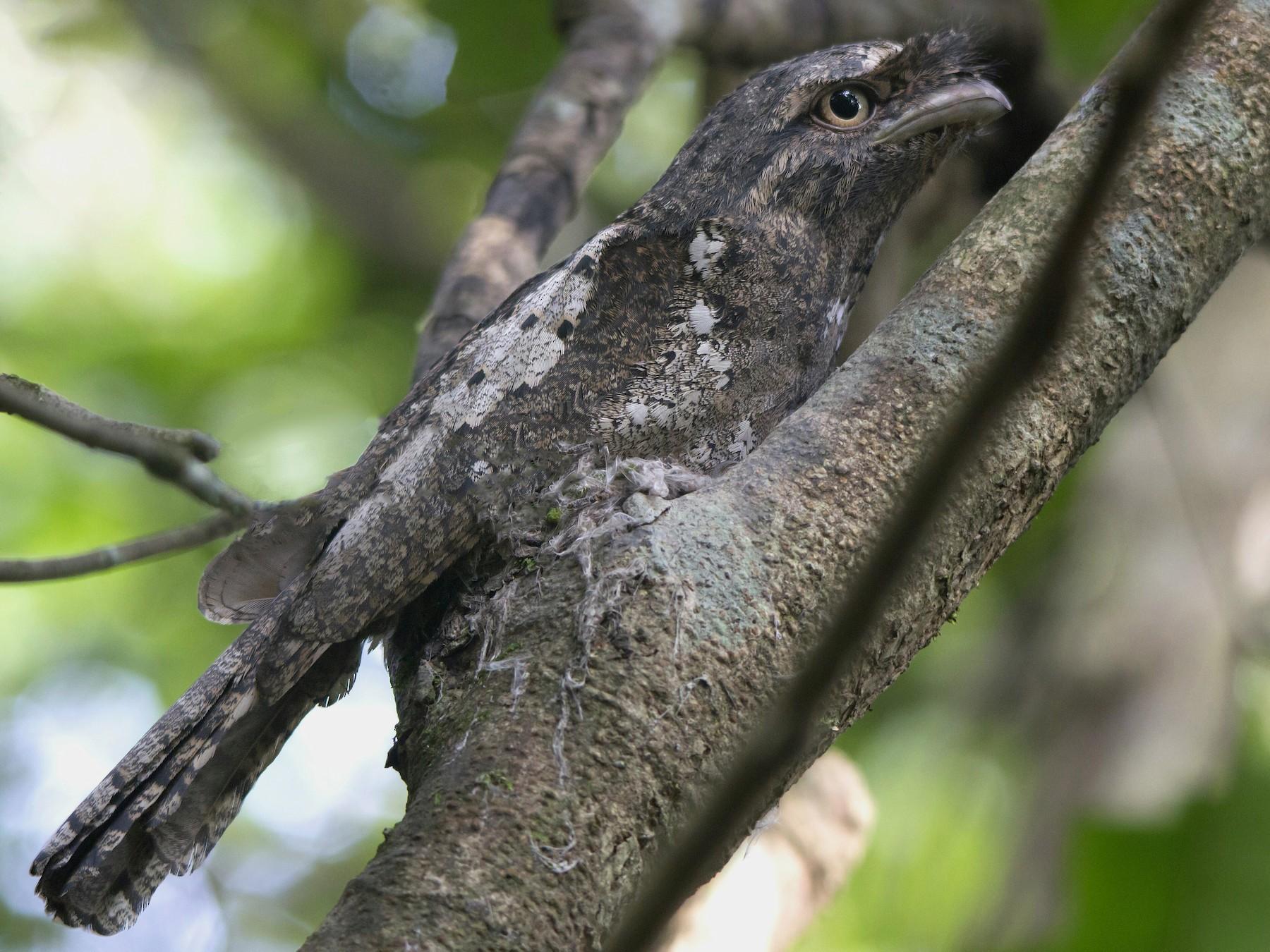 Sri Lanka Frogmouth - Swapnil Thatte
