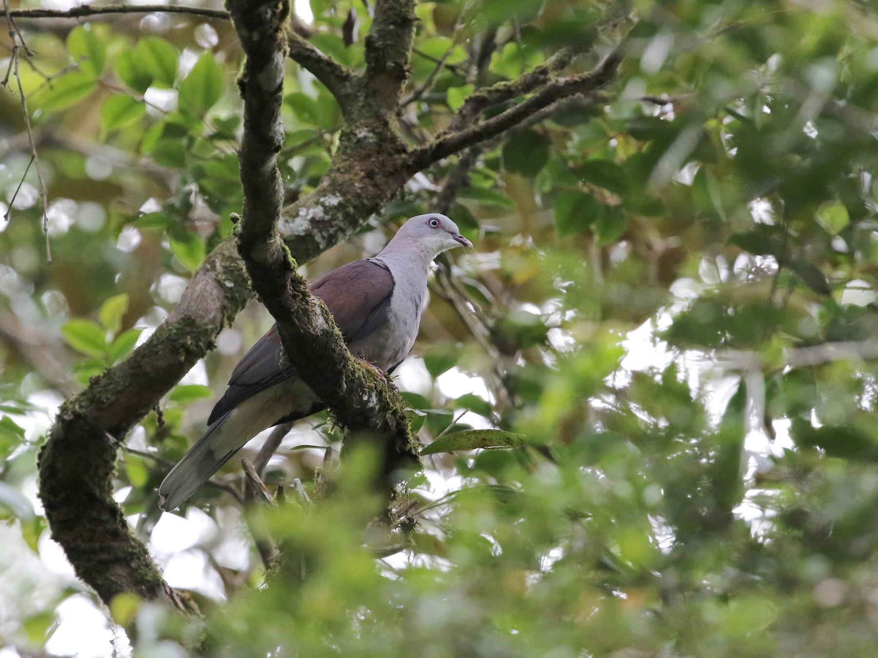 Mountain Imperial-Pigeon - Gerlinde Taurer
