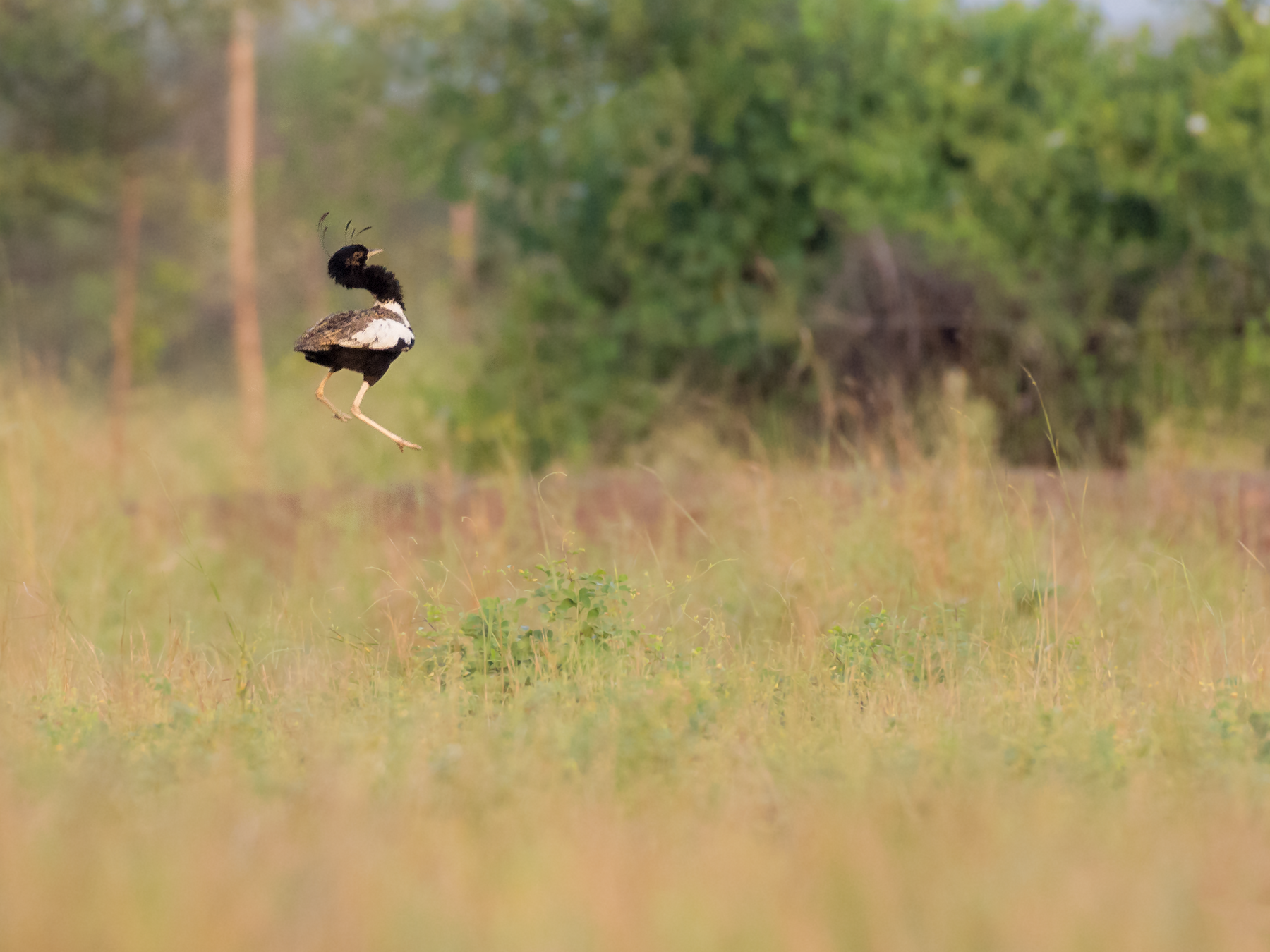 Lesser Florican - Fareed Mohmed