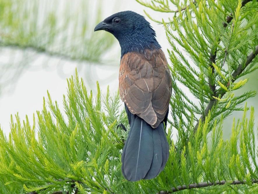 Lesser Coucal - Kai Pflug