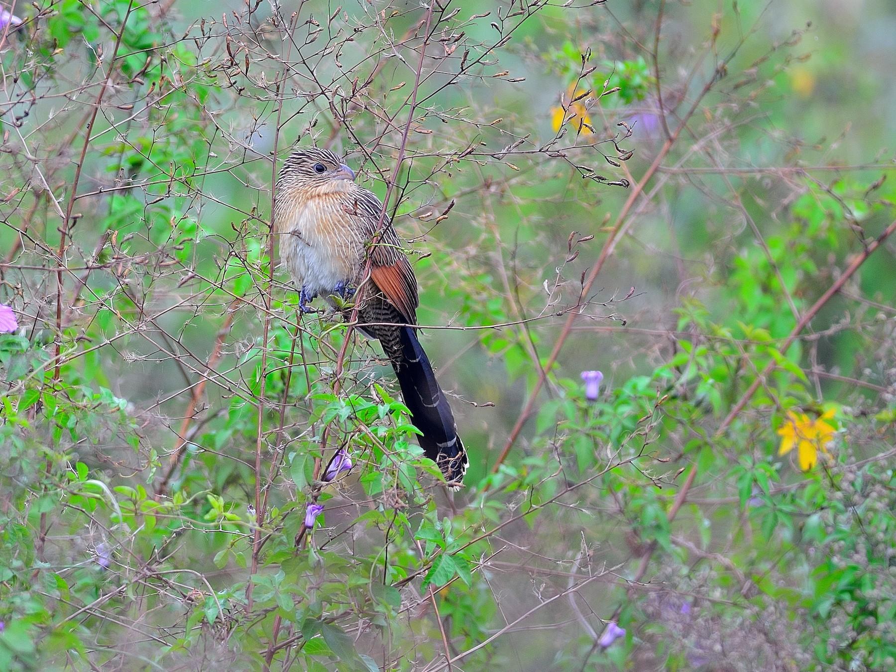 Lesser Coucal - Wbird Tsai