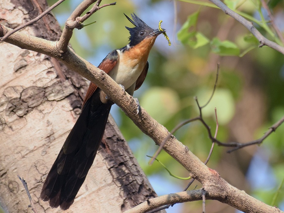 Chestnut-winged Cuckoo - Supaporn Teamwong
