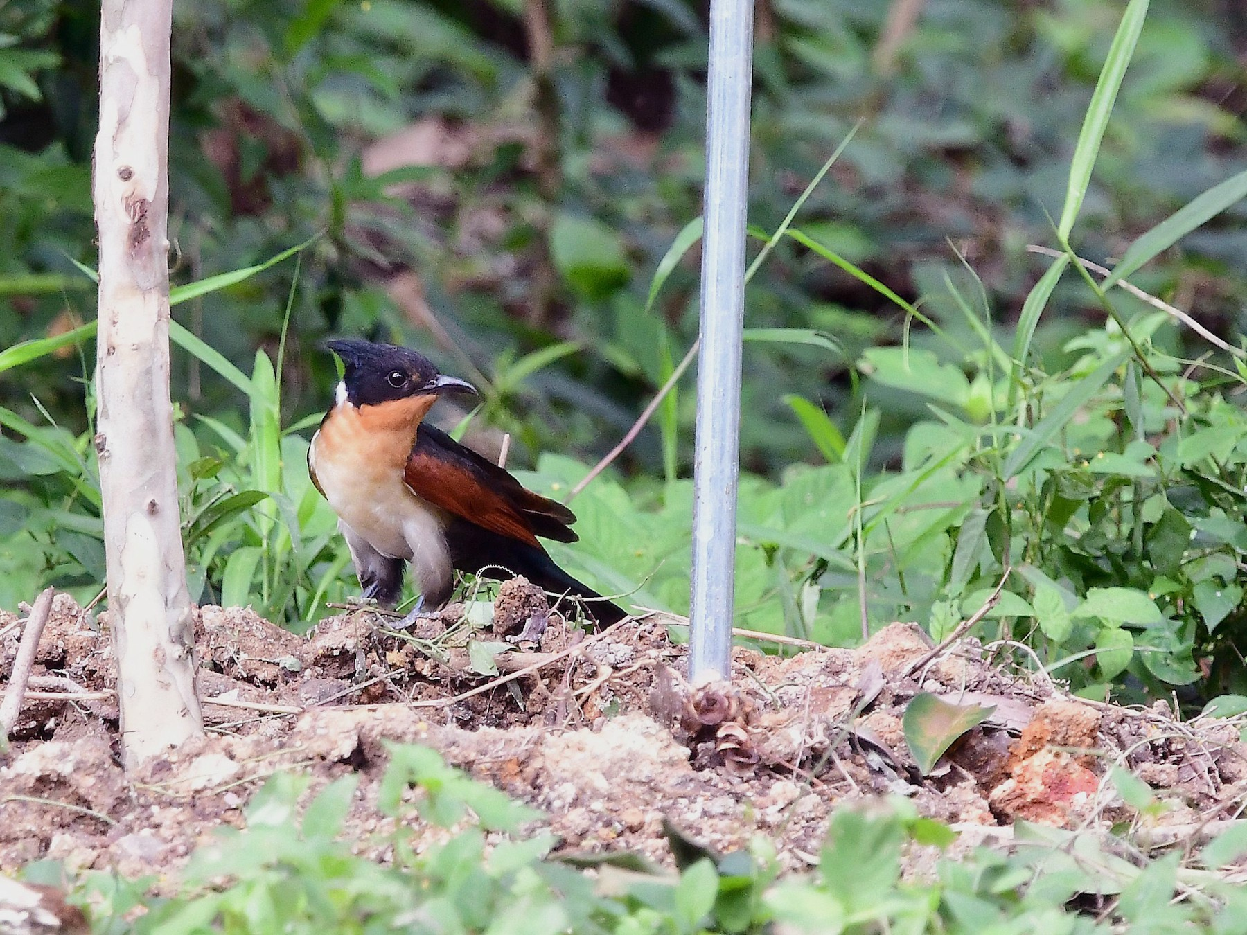 Chestnut-winged Cuckoo - Anonymous eBirder