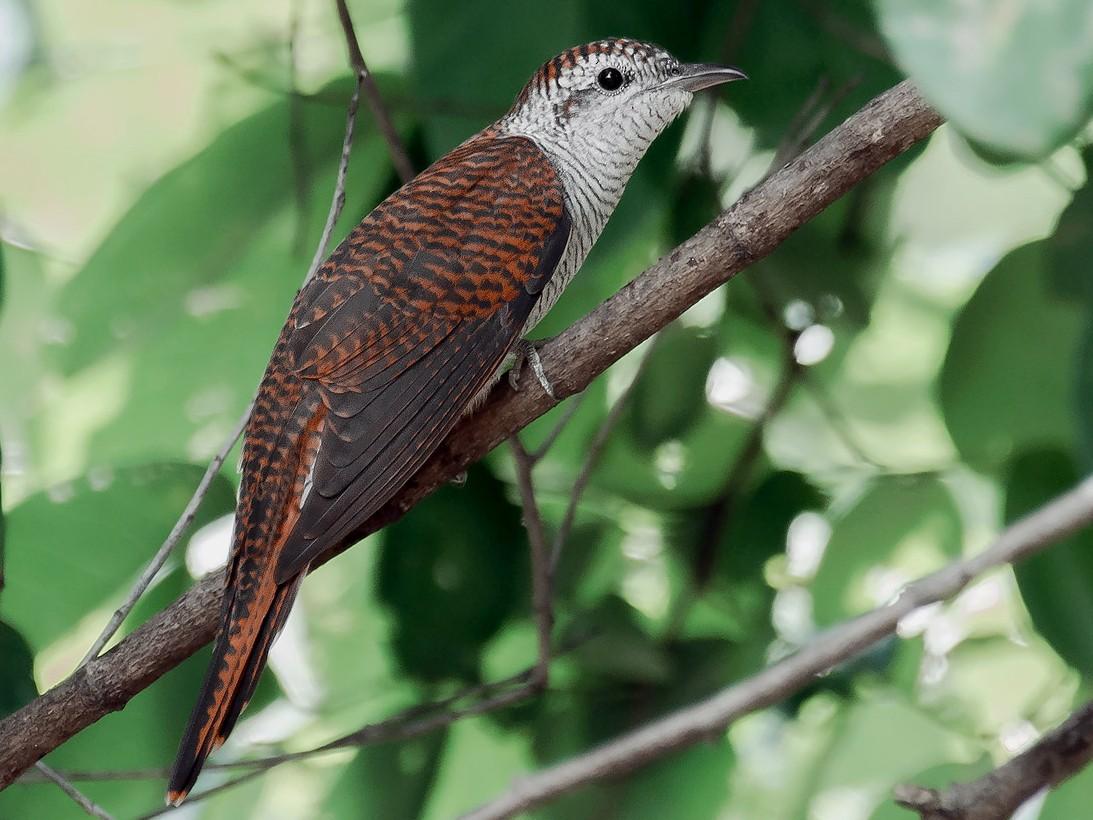 Banded Bay Cuckoo - Natthaphat Chotjuckdikul