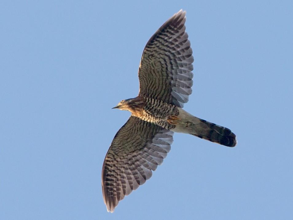 Large Hawk-Cuckoo - Adrian Boyle