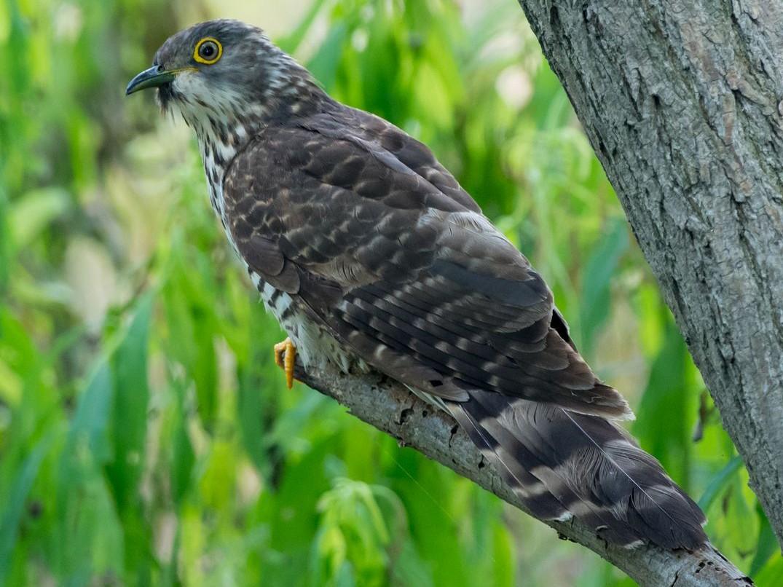 Large Hawk-Cuckoo - Kai Pflug