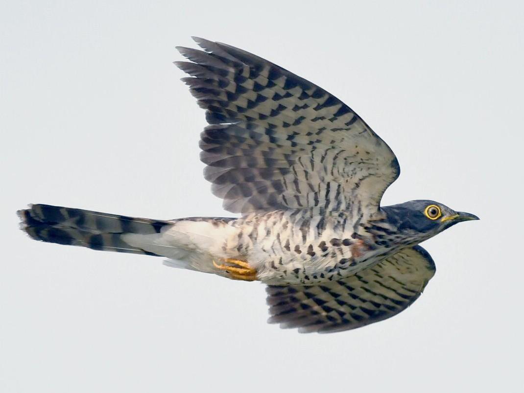 Large Hawk-Cuckoo - Adrian Silas Tay