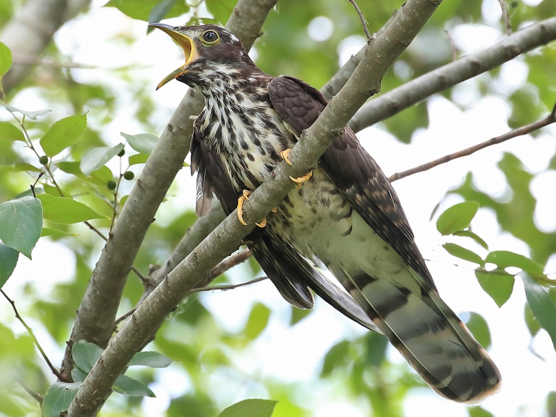 Large Hawk-Cuckoo - LO  Chun Fai
