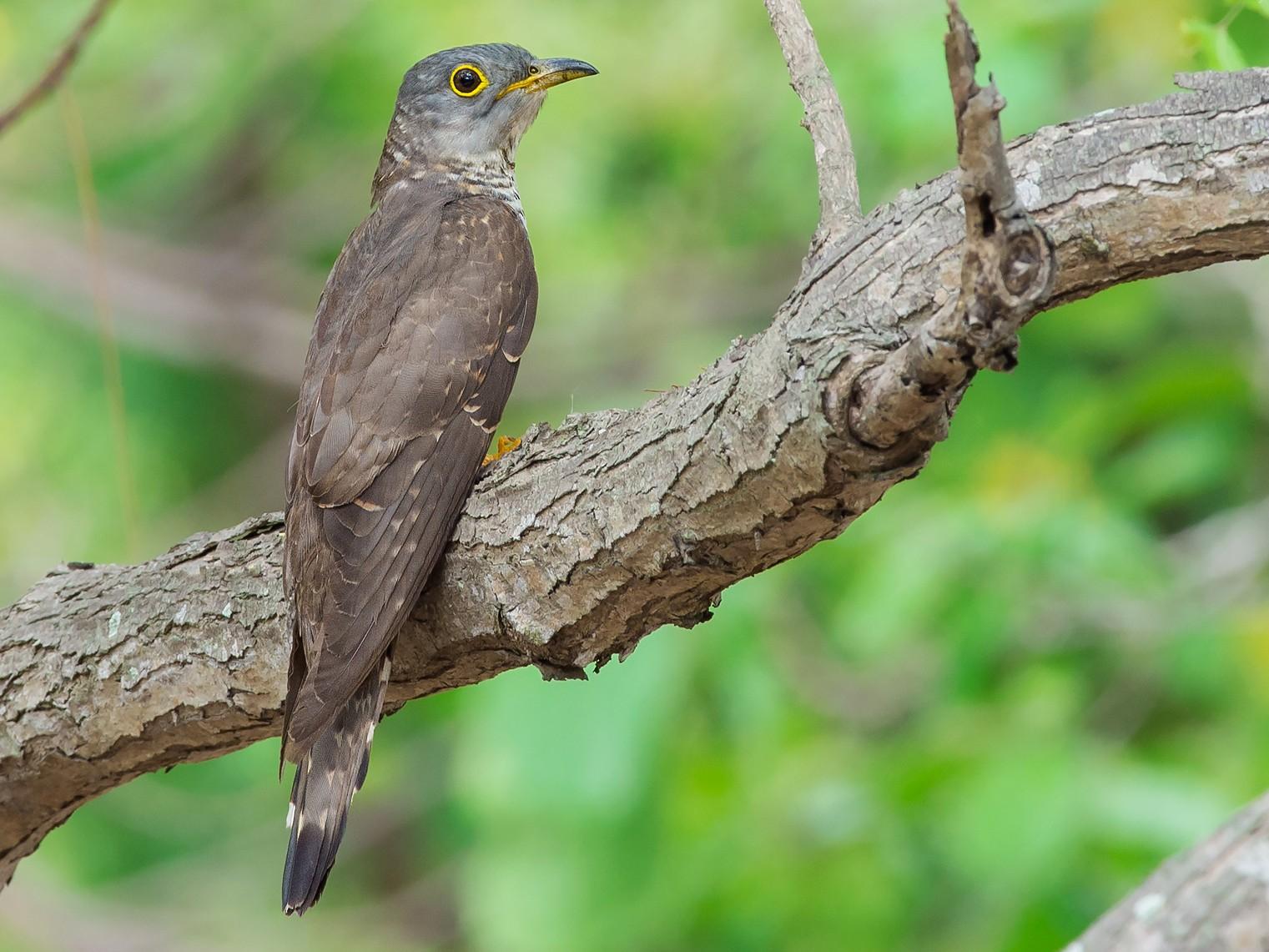 Indian Cuckoo - Natthaphat Chotjuckdikul