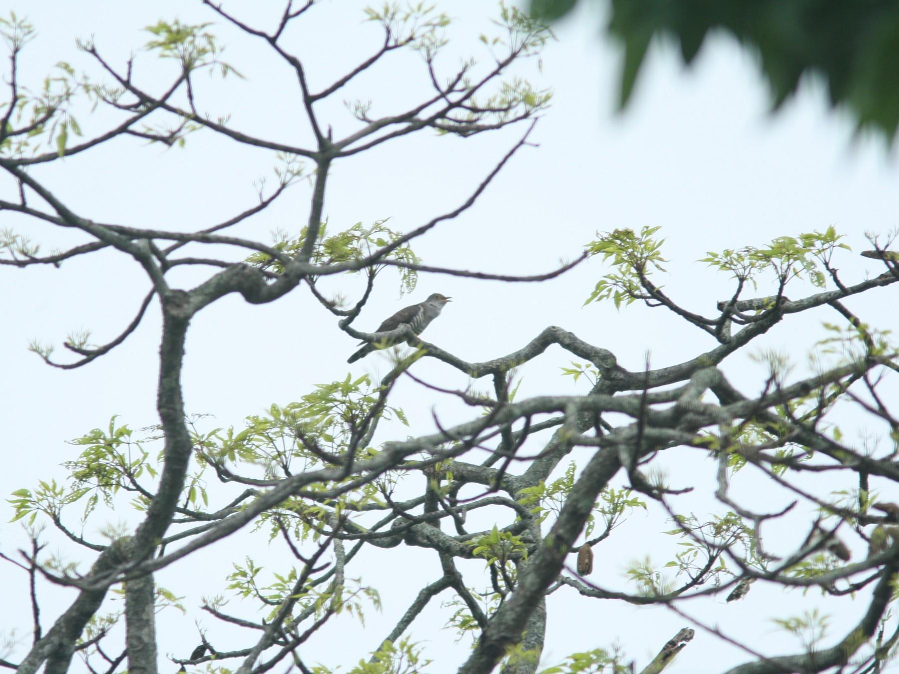Indian Cuckoo - PANKAJ GUPTA