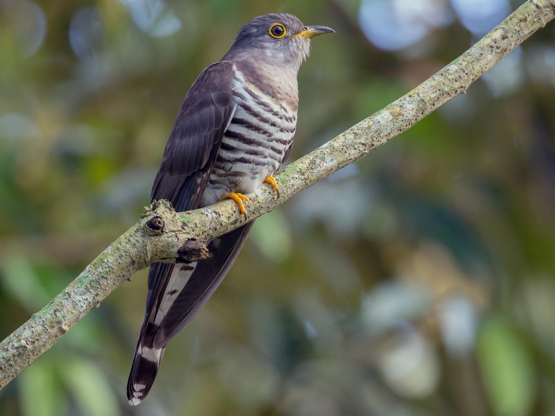 Indian Cuckoo - Adrian Silas Tay