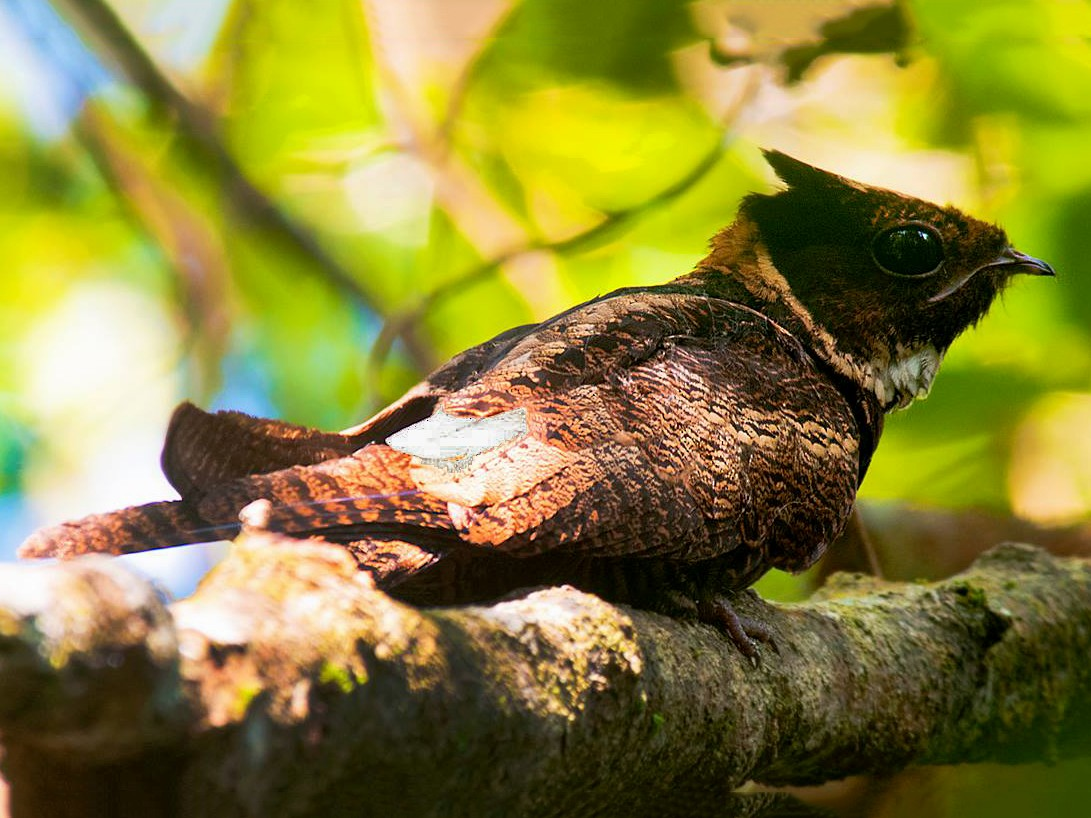 Great Eared-Nightjar - Biju PB