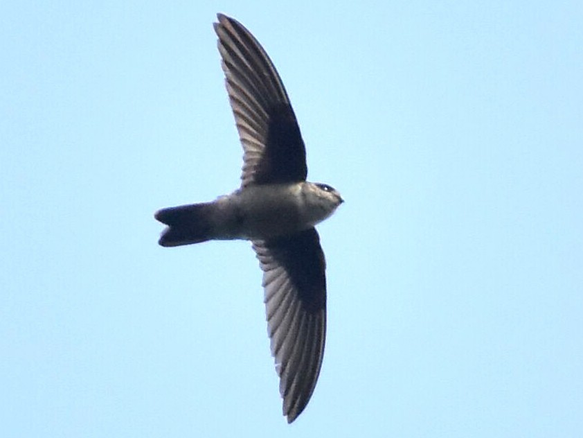 Indian Swiftlet - Coimbatore Nature Society