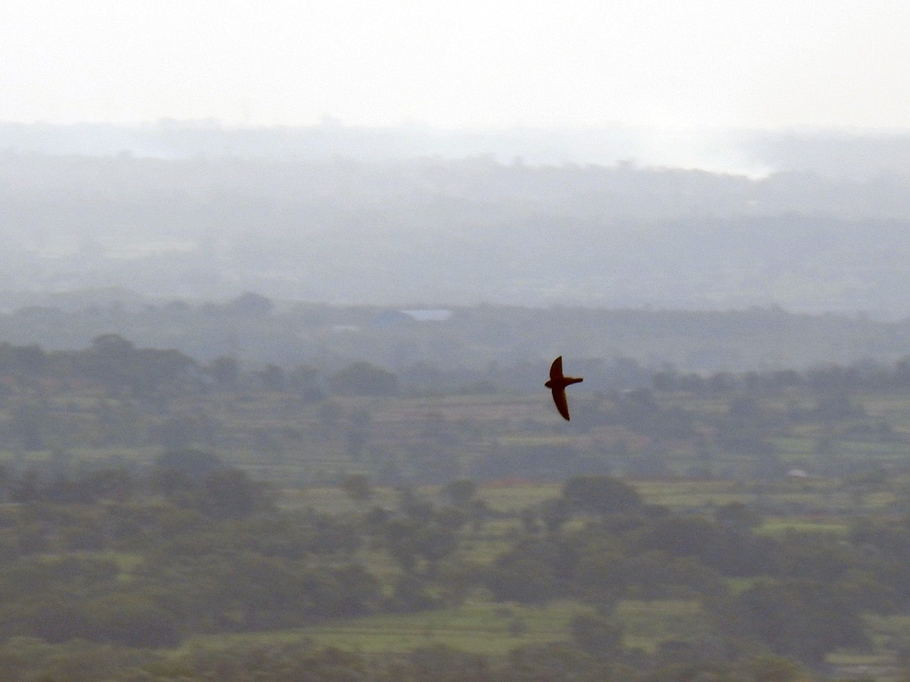 Indian Swiftlet - Anonymous eBirder