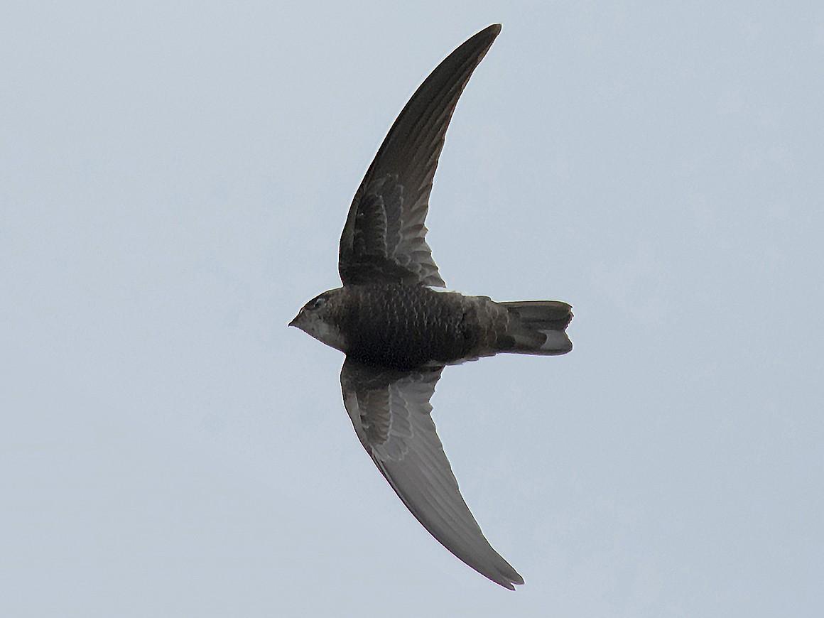 Blyth's Swift - Ribish Thomas
