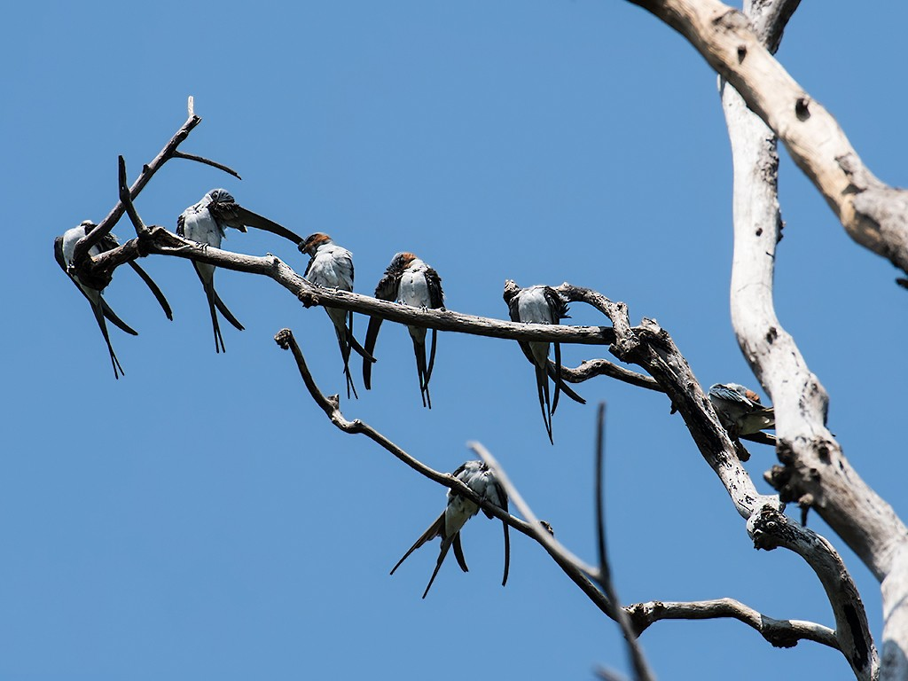 Crested Treeswift - Viral  Pankaj