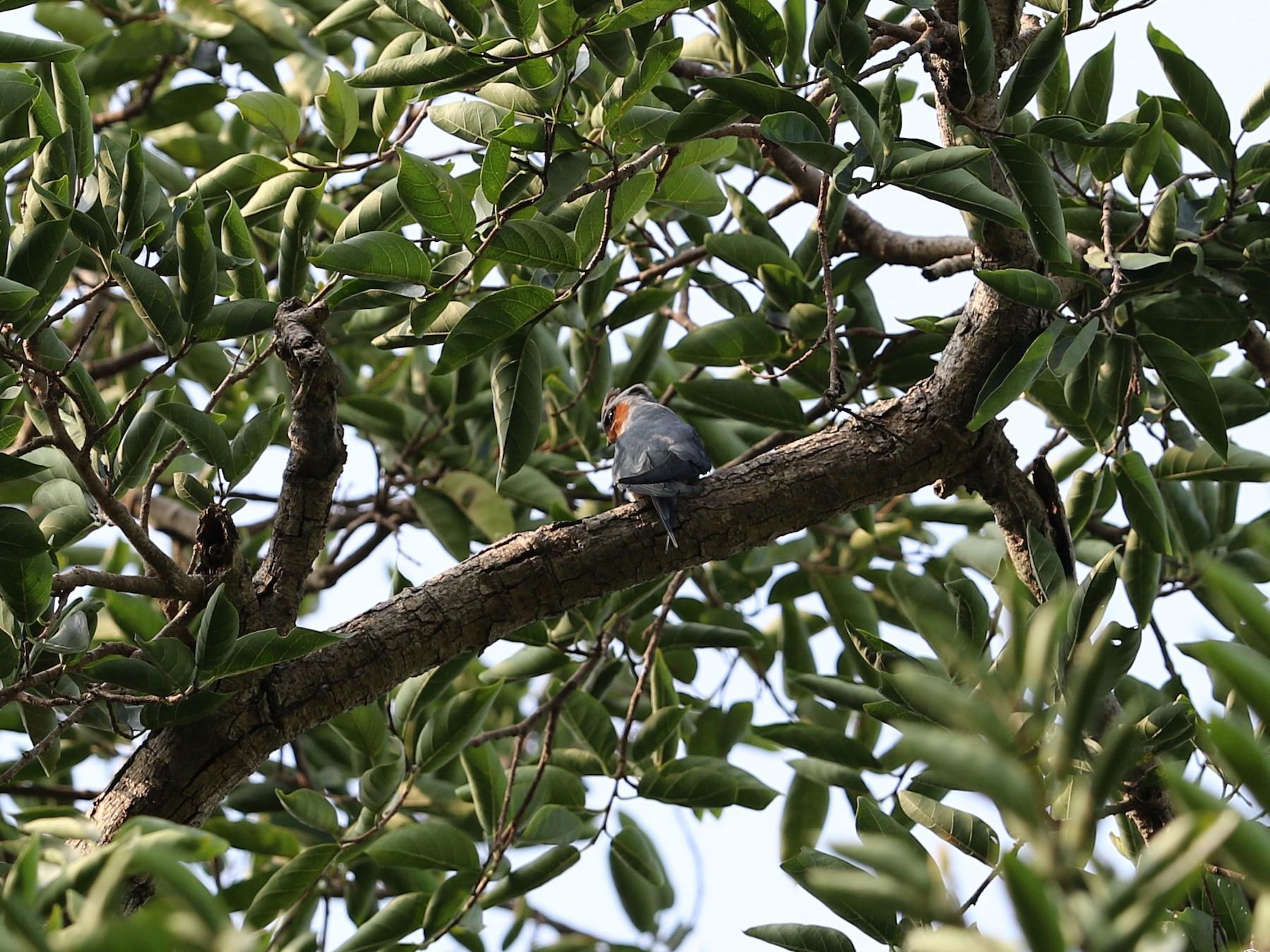 Crested Treeswift - Gaurang Bagda
