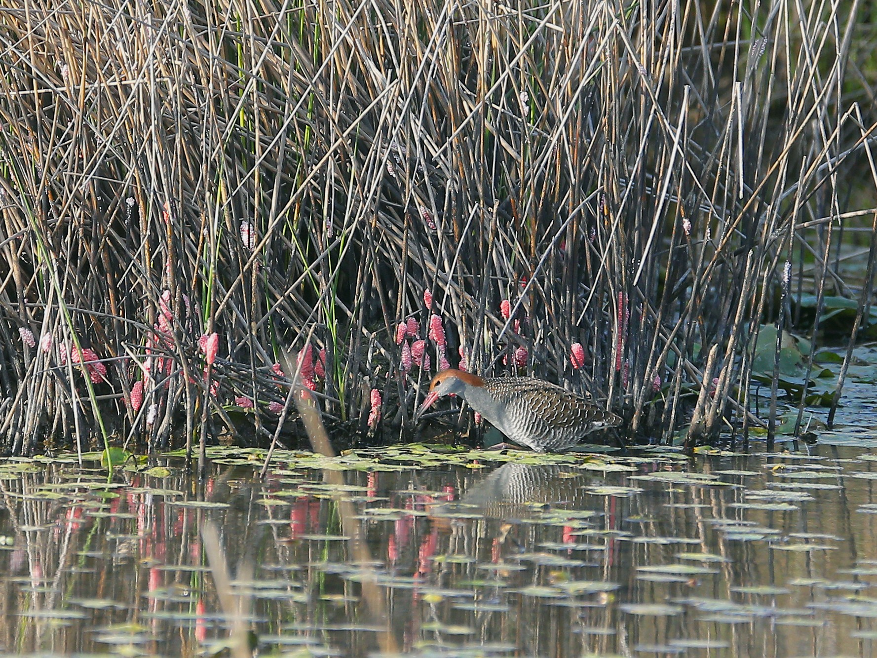 Slaty-breasted Rail - Roman Lo
