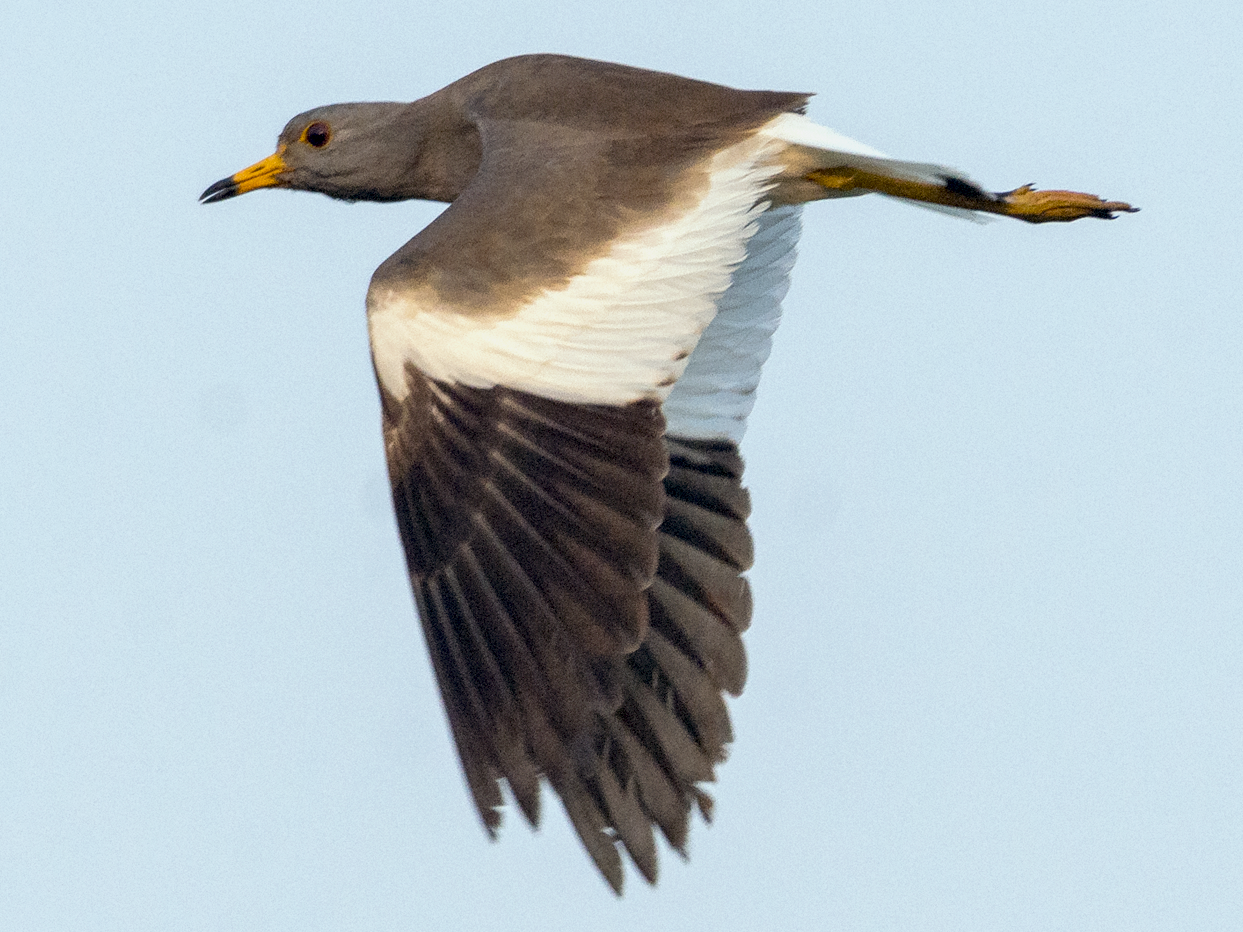 Gray-headed Lapwing - Fareed Mohmed