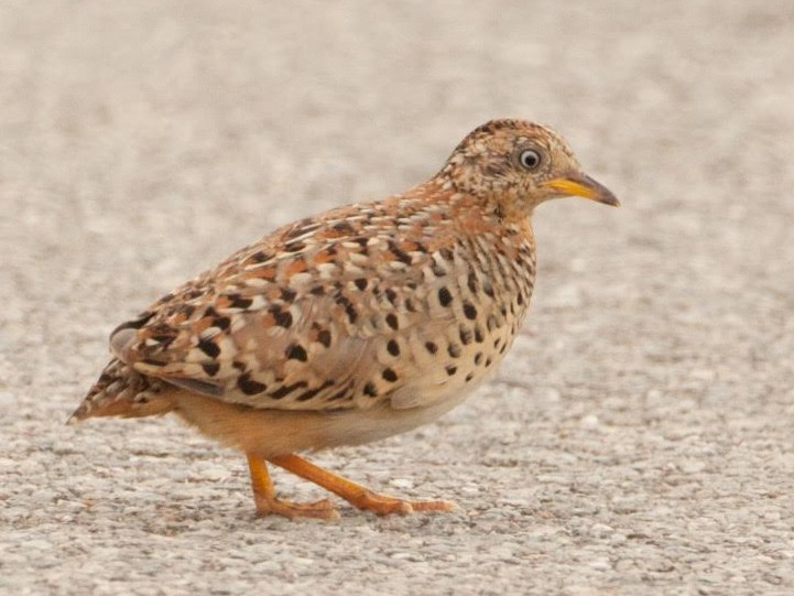 Yellow-legged Buttonquail - Wolfe R