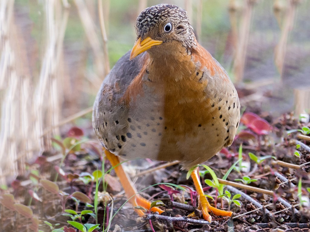 Yellow-legged Buttonquail - Avdhut Kanago