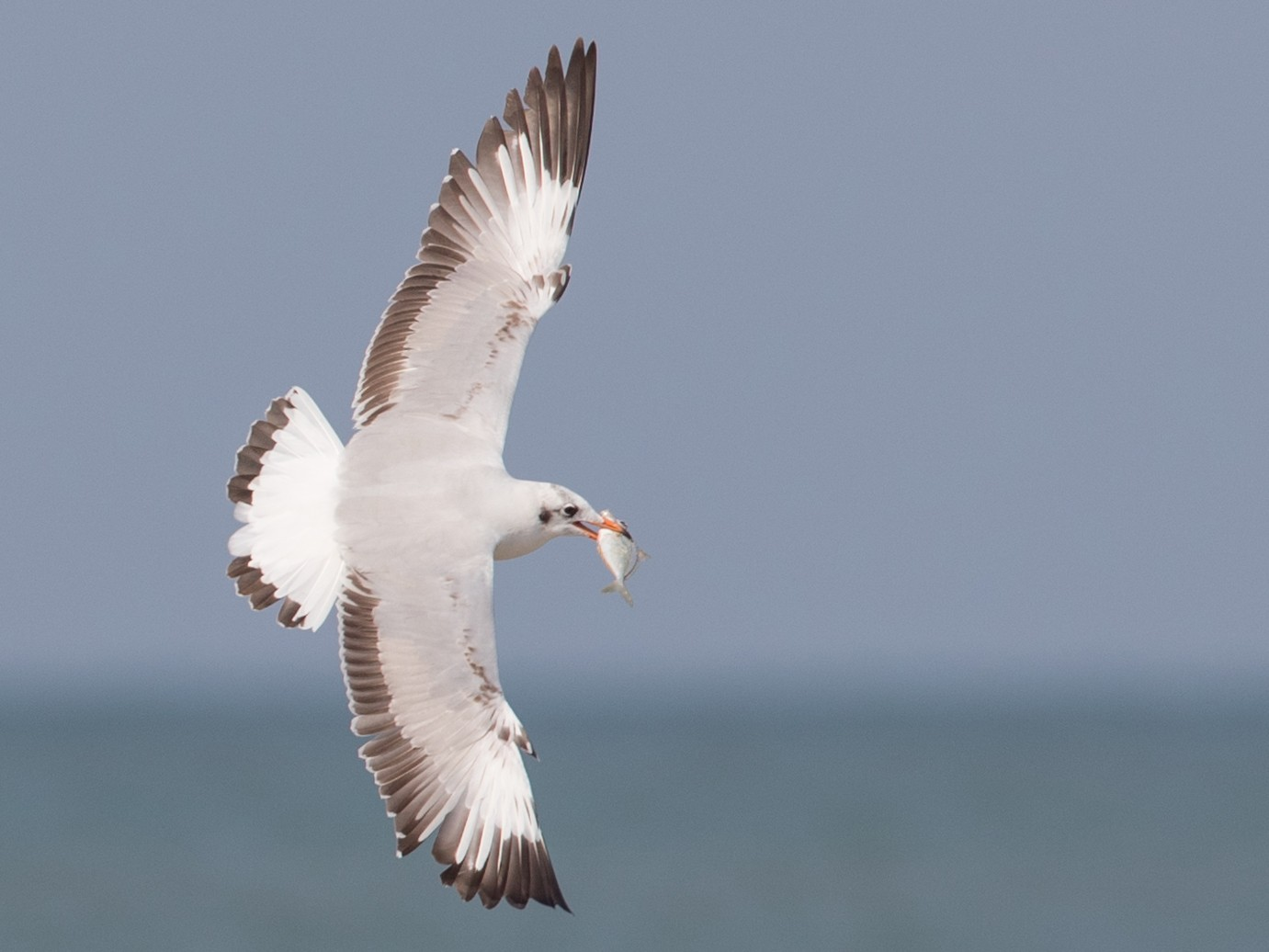Brown-headed Gull - Ian Davies