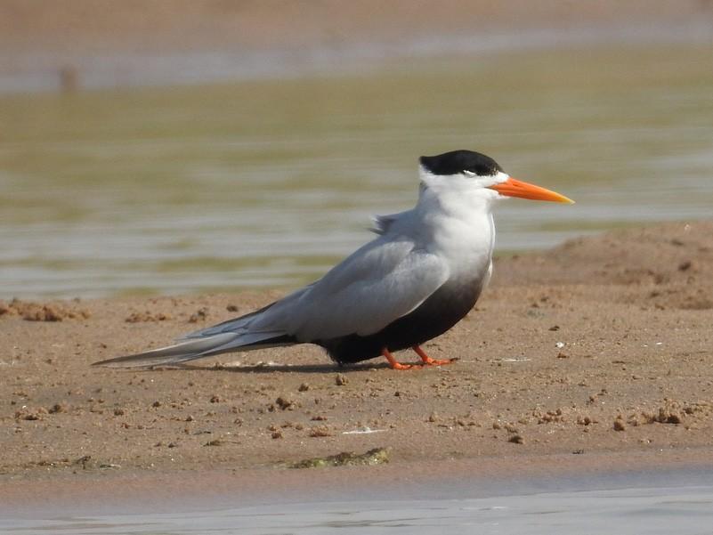 Black-bellied Tern - Anonymous eBirder