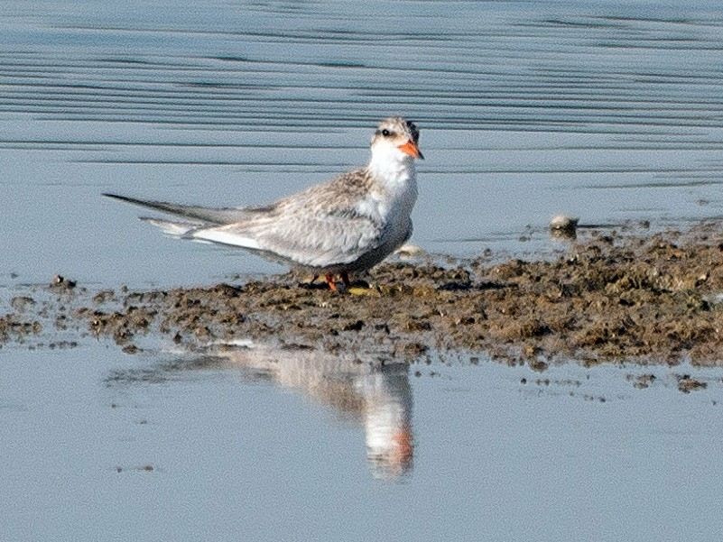 Black-bellied Tern - Raja Simma Pandiyan