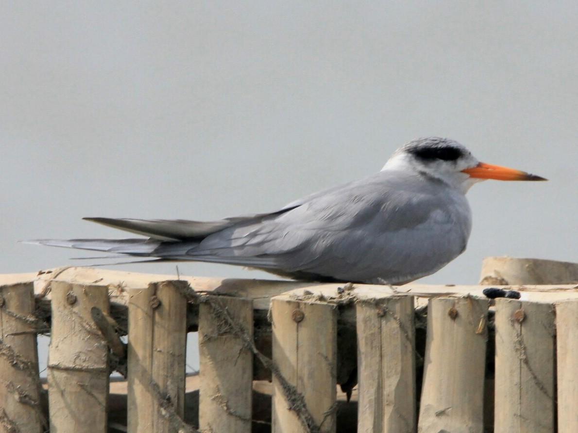 Black-bellied Tern - Dhrubojyoti Sen