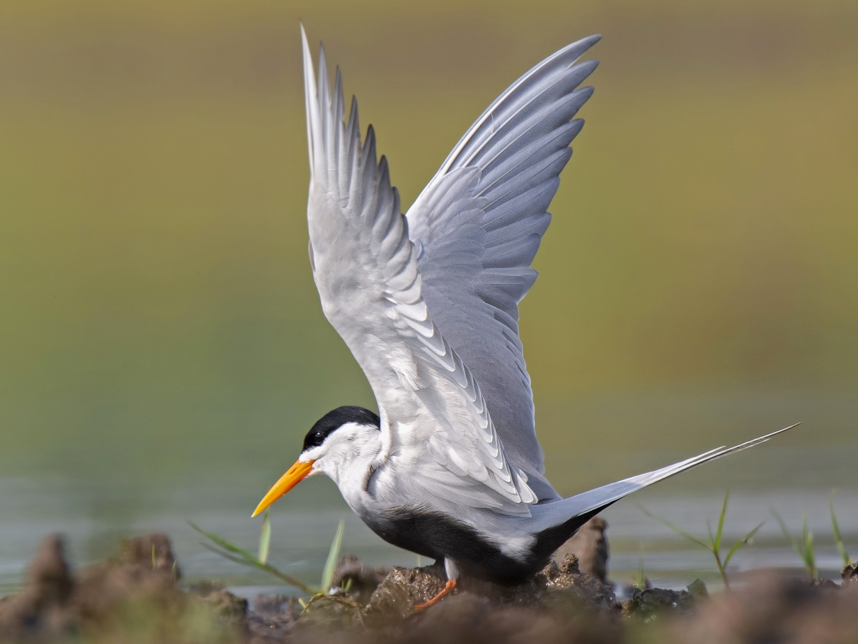 Black-bellied Tern - Manoj Bind