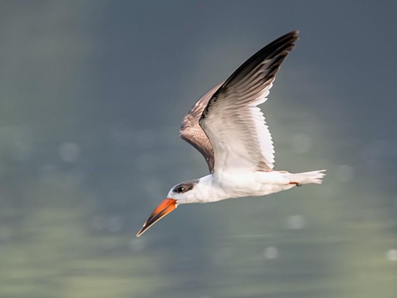 Indian Skimmer - Samyak Kaninde