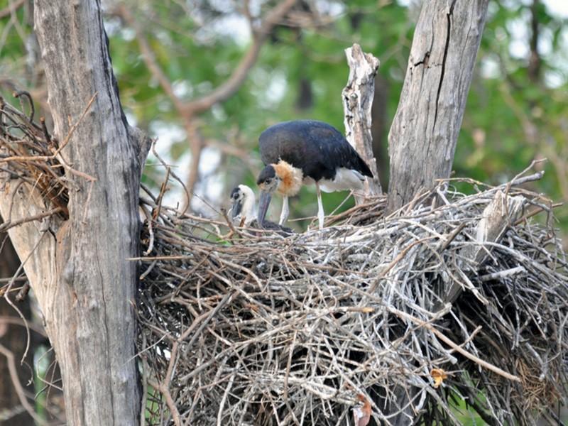 Woolly-necked Stork - Ajay  Gadikar