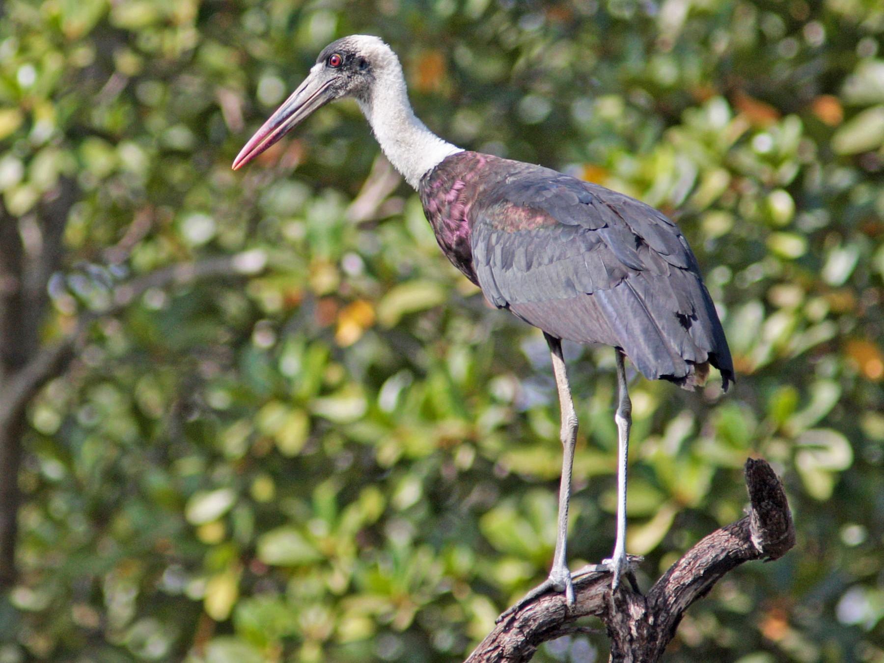 Woolly-necked Stork - Ray Scally
