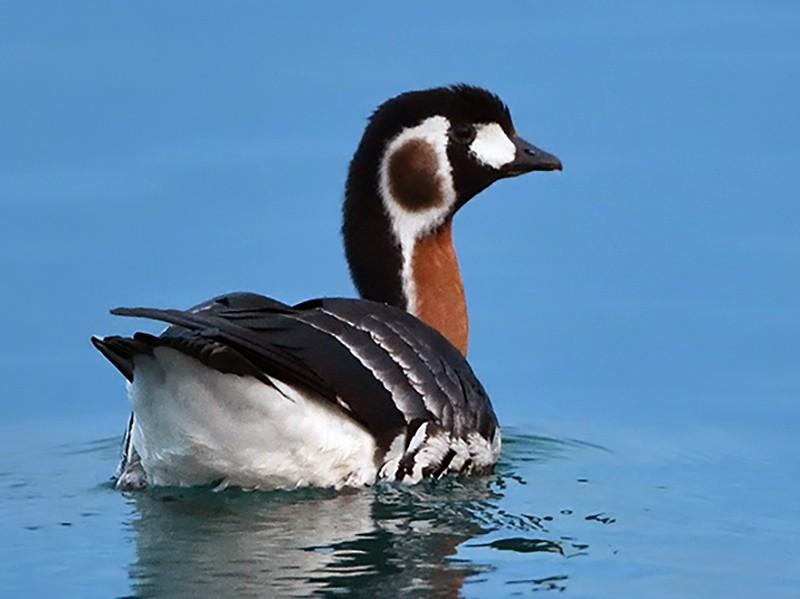 Red-breasted Goose - Murat SALTIK