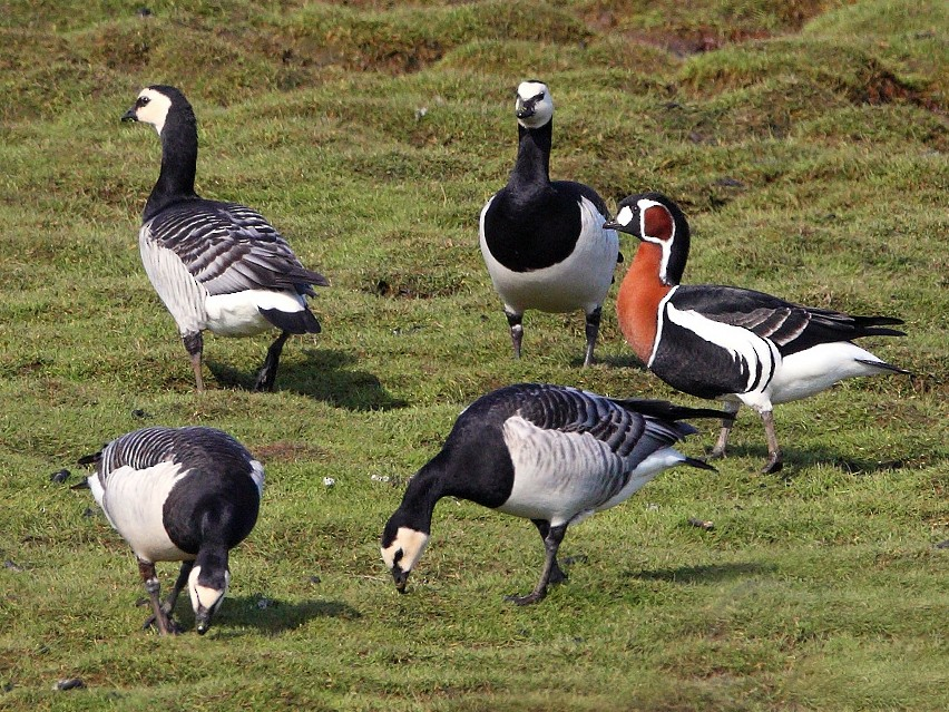 Red-breasted Goose - Lasse Olsson