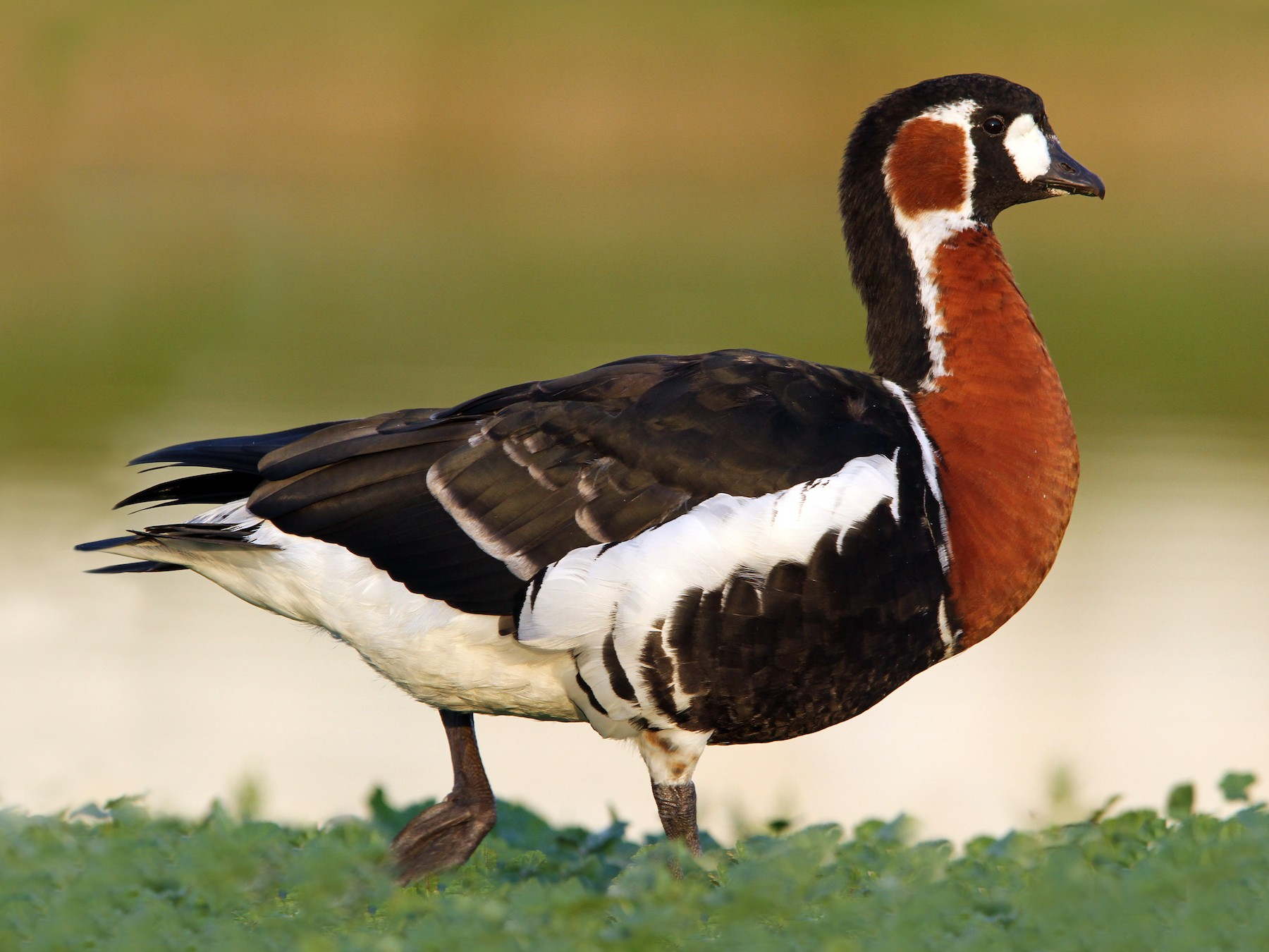 Red-breasted Goose - Christoph Moning
