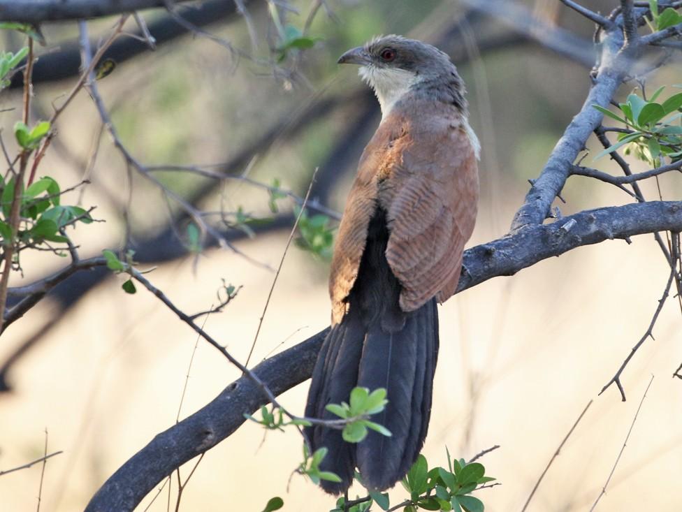 Senegal Coucal - Charley Hesse TROPICAL BIRDING