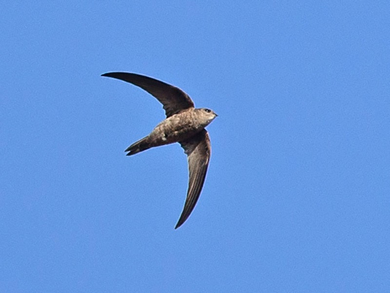 Alexander's Swift - Robert Tizard