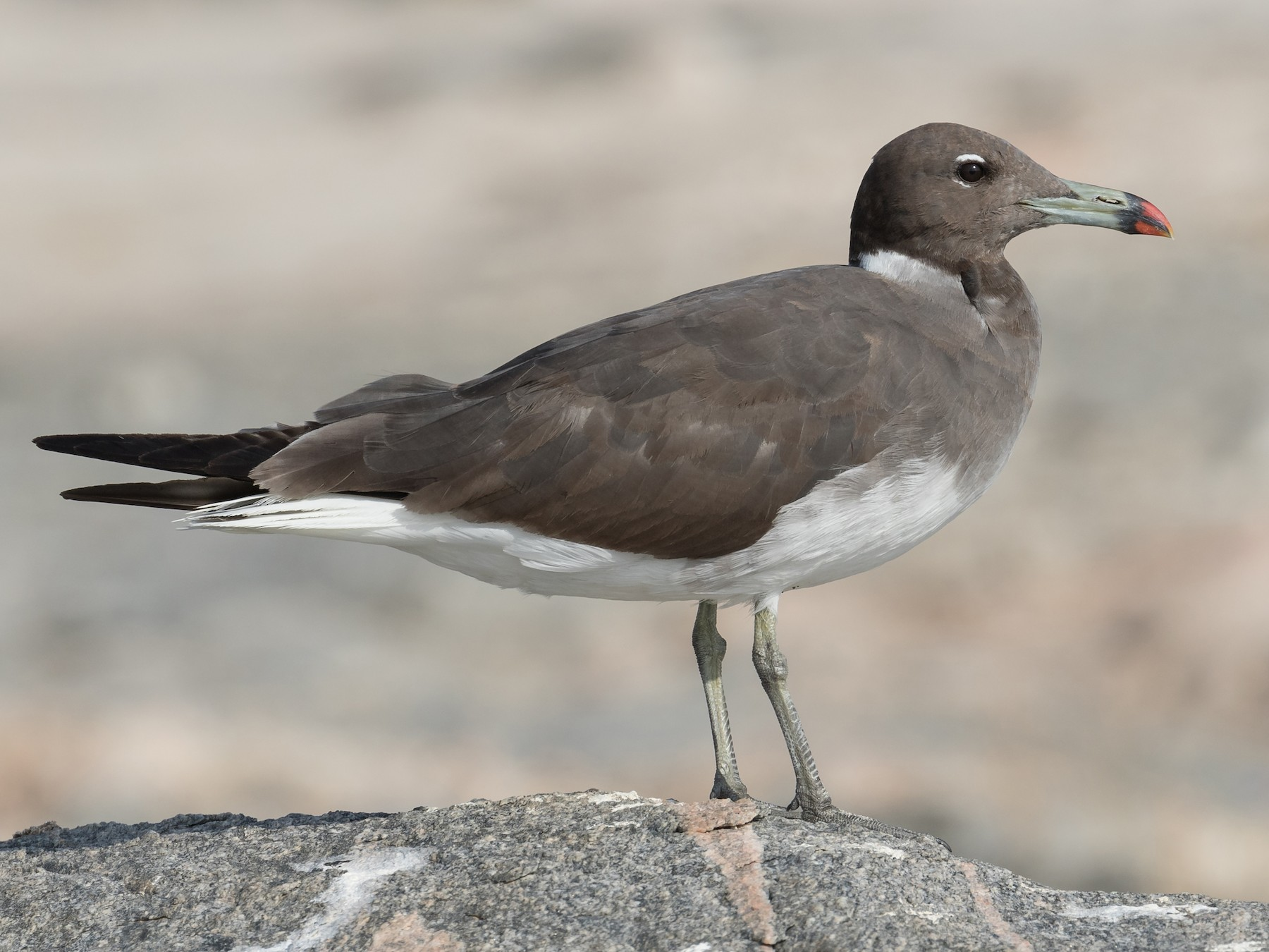 Sooty Gull - Peter Kennerley
