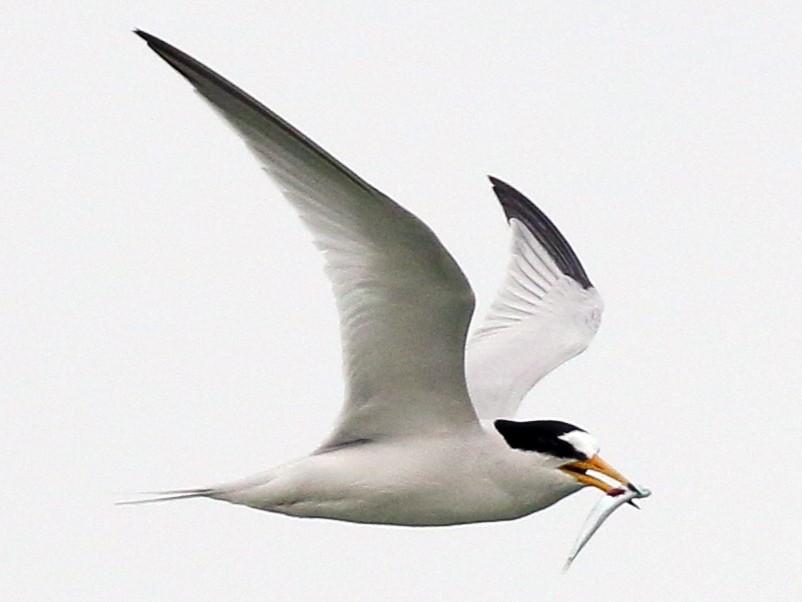 Saunders's Tern - Tommy Pedersen