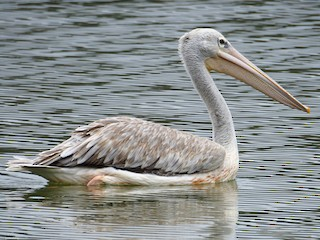 - Pink-backed Pelican
