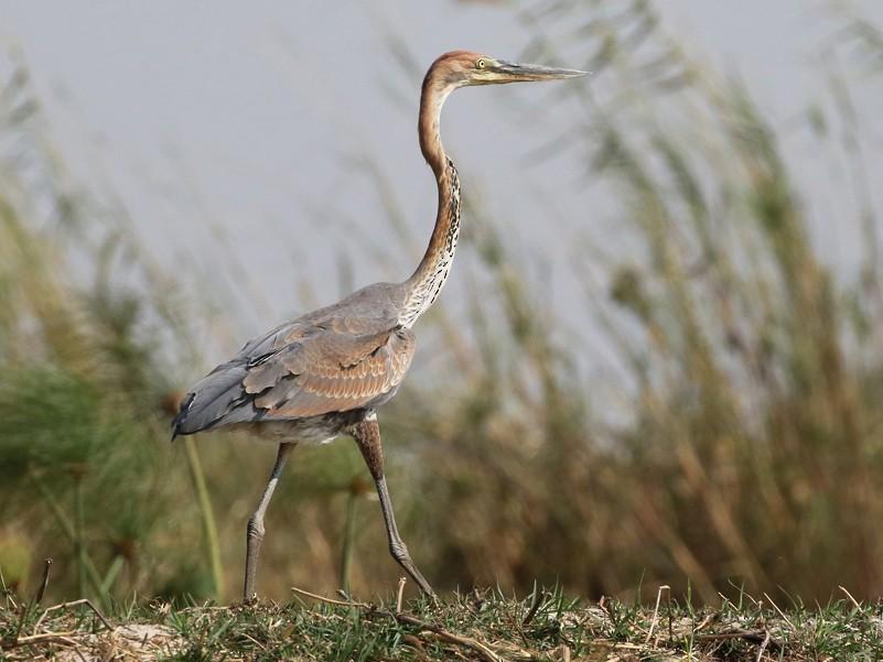 Goliath Heron - Charley Hesse TROPICAL BIRDING
